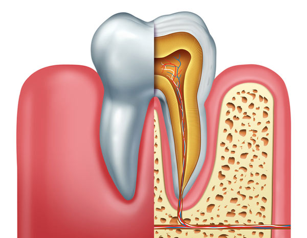 Diagram of tooth showing tooth root at Gregory J. Gorman, DMD in Grand Junction, CO